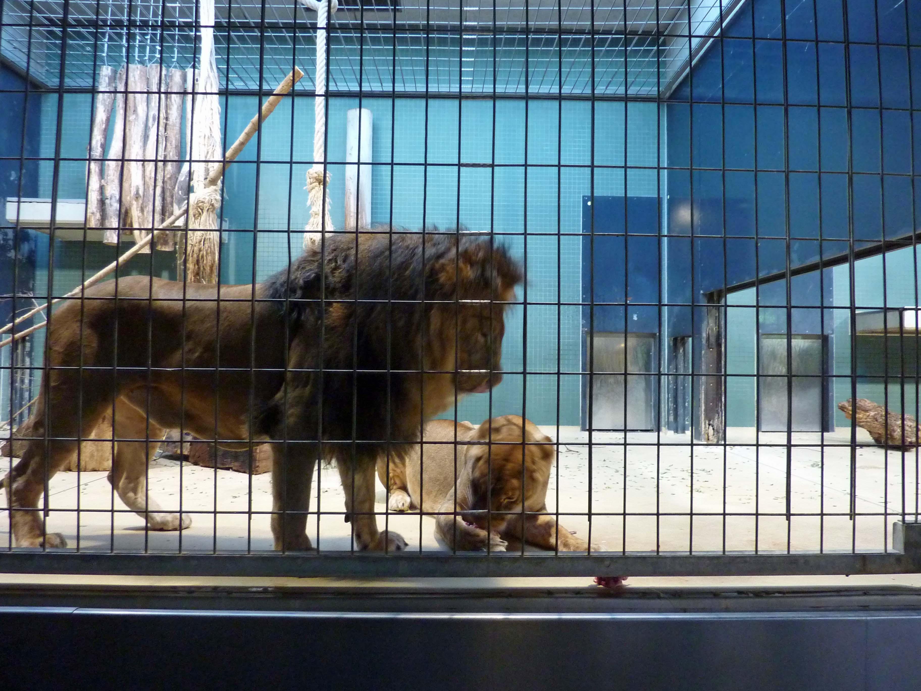 lion g