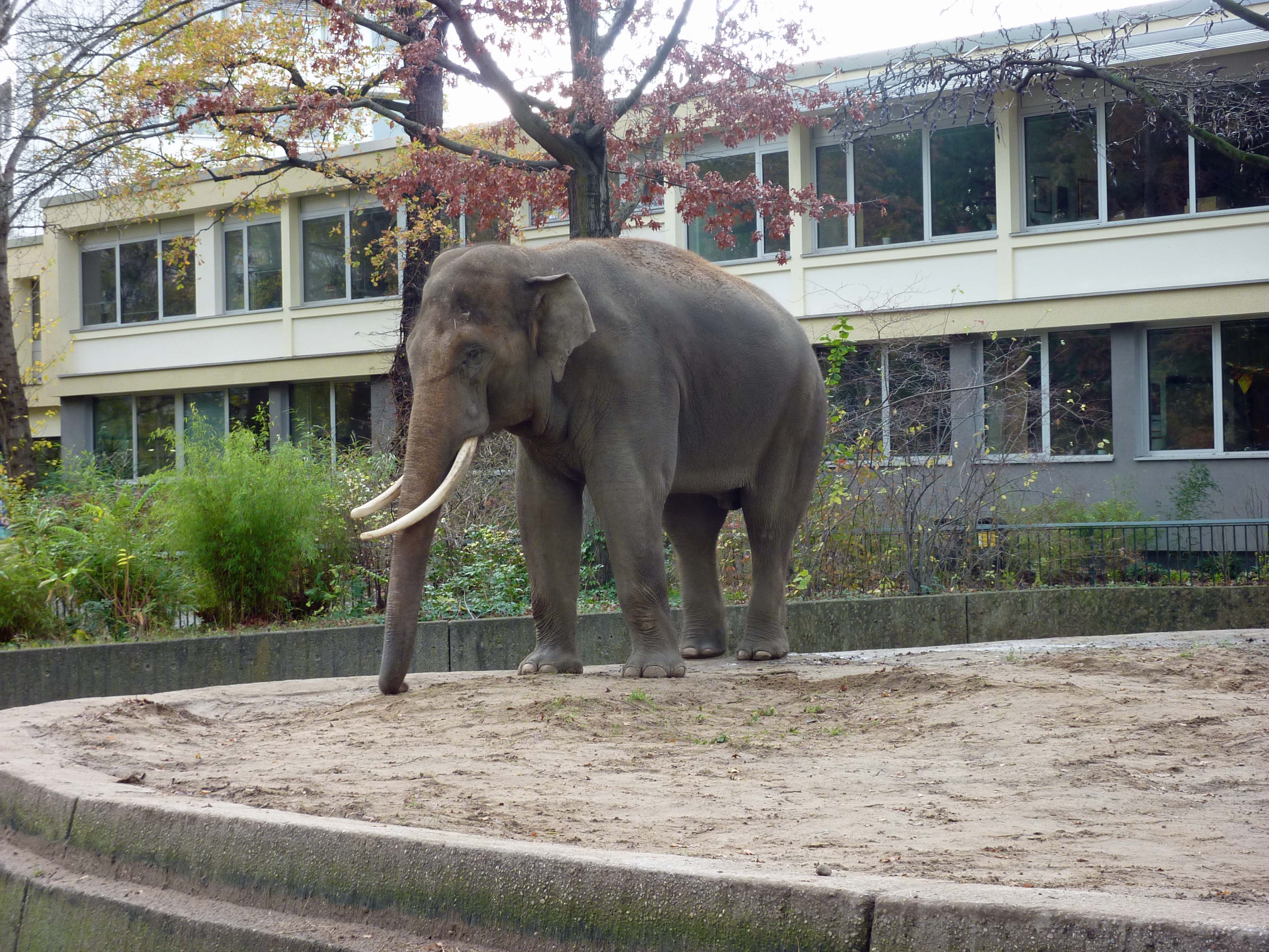 victor the elephant