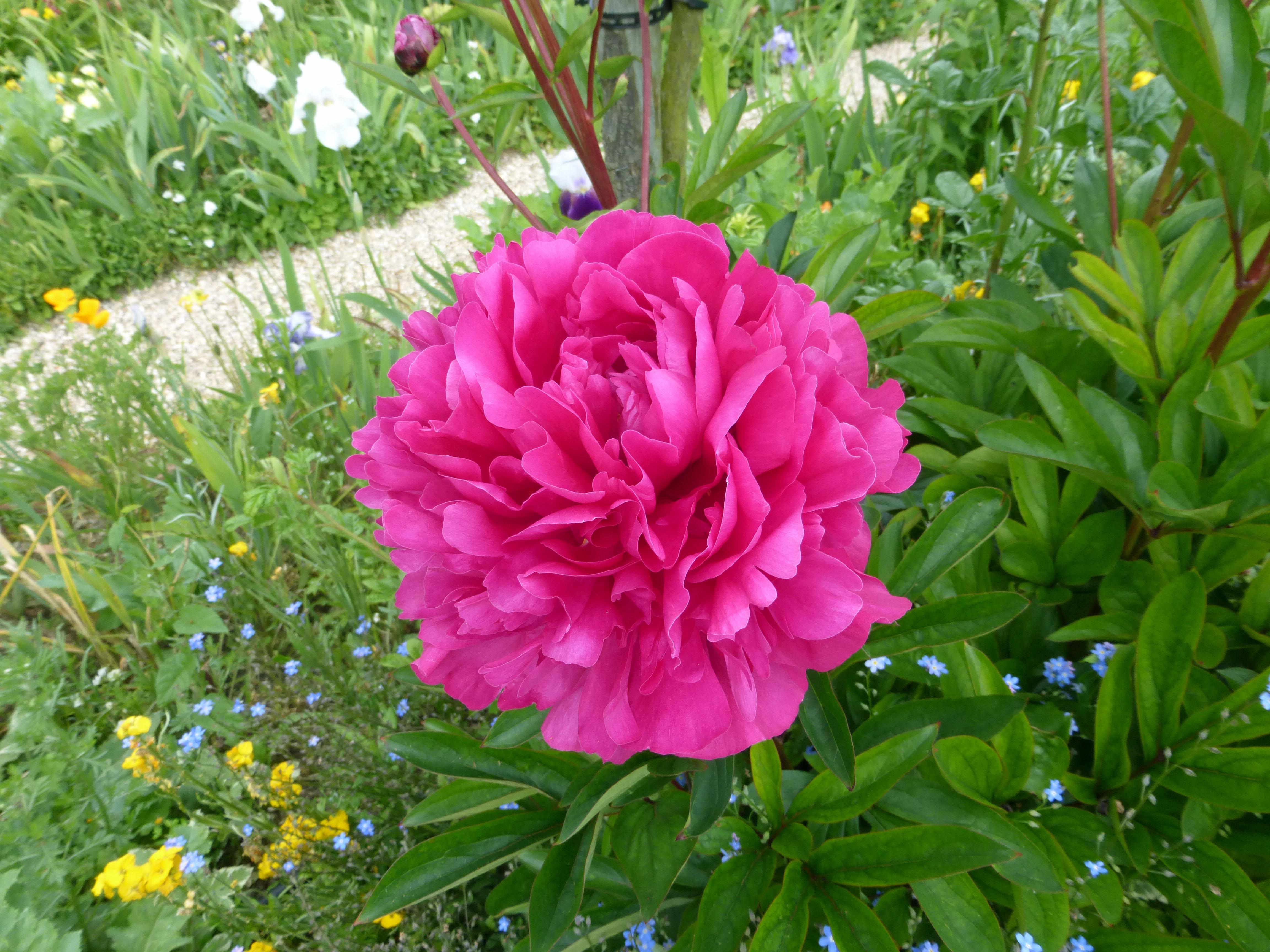 bright pink peonie