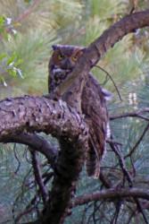 Owl     08-09-15